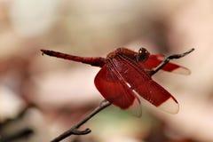 Enige rode libel met rode vleugels en lange rode staart Royalty-vrije Stock Fotografie