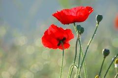Enige rode papaver Royalty-vrije Stock Afbeelding