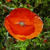 Enige rode papaver Royalty-vrije Stock Foto's