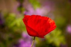 Enige rode papaverbloem Stock Afbeeldingen