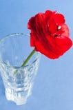 Enige rode ranunculus op lichtblauwe achtergrond. Royalty-vrije Stock Afbeeldingen