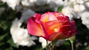 Enige Rode Rose Moving In Breeze Outdoors stock videobeelden