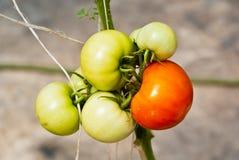 Enige rode tomaat in een groep Royalty-vrije Stock Afbeeldingen