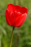 Enige rode tulp in de lente royalty-vrije stock afbeelding