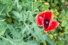 Enige rode witte het zonlicht het glanzen vage groene bac van de papaverbloem Stock Foto