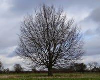 Enige ronde boom met naakte takken Royalty-vrije Stock Foto's