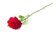 Enige rood nam bloem toe Stock Fotografie