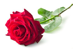 Enige rood nam bloem toe Stock Afbeeldingen