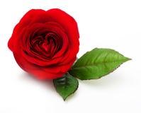 Enige rood nam bloem toe Stock Foto's