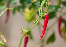 Enige roodgloeiende ruwe rijpe het kruid van de Spaanse peperpeper het plantaardige groeien pla stock foto's