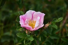 Enige Roze Alberta Wild Rose Royalty-vrije Stock Foto's