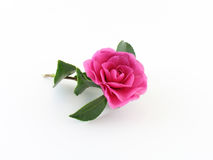 Enige roze cameliabloesem Royalty-vrije Stock Afbeeldingen