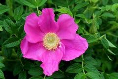 Enige roze die bloem in groen van struiken in gemodelleerde tuin wordt geplooid stock fotografie