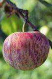 Enige roze gestreepte appel op appelboom Stock Afbeelding