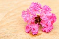 Enige Roze indica Lagerstroemia Royalty-vrije Stock Afbeeldingen
