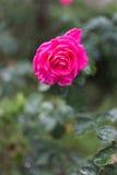 Enige roze nam in close-up toe Royalty-vrije Stock Afbeeldingen