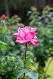 Enige roze nam toe Stock Afbeeldingen