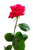 Enige roze nam toe royalty-vrije stock fotografie