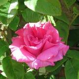 Enige roze nam toe Royalty-vrije Stock Afbeeldingen