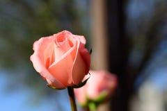 Enige roze nam toe Stock Afbeelding