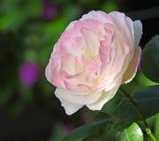 Enige roze nam toe stock fotografie