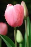 Enige Roze Tulp Royalty-vrije Stock Afbeeldingen
