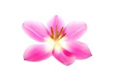 Enige roze tulp Stock Foto's