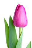 Enige roze tulp Royalty-vrije Stock Foto's