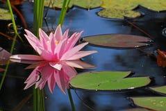Enige roze waterlelie met zijn gedachtengang Stock Foto