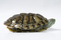 Enige Schildpad Stock Afbeelding