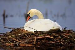 Enige Stodde zwaanvogel op een nest tijdens een de lente het nestelen periode Stock Afbeelding
