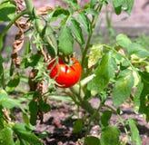 Enige Tomatenplant Royalty-vrije Stock Afbeeldingen
