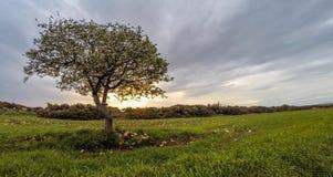 Enige tot bloei komende appelboom bij zonsondergang stock video