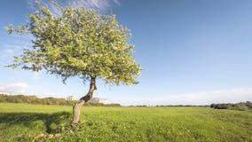 Enige tot bloei komende appelboom met wolkentijd stock videobeelden