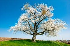 Enige tot bloei komende boom in de lente Stock Afbeeldingen