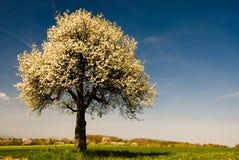 Enige tot bloei komende boom in de lente. royalty-vrije stock foto's
