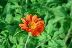 Enige tuin sierbloem die met oranje bloemblaadjes en gele bestuiving met groene bladachtergrond bloeien royalty-vrije stock foto