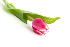 Enige tulpenbloem Stock Foto