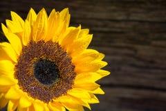 Enige verse zonnebloem op houten raadswhit exemplaarruimte stock foto's