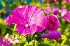 Enige Violette bloemen Royalty-vrije Stock Foto