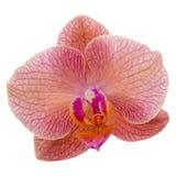Enige violette orchideebloem Royalty-vrije Stock Foto's