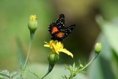 Enige Vlinder Royalty-vrije Stock Foto