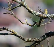 Enige vogel van Sturnus de éénkleurige estorninho-Preto op tak stock afbeelding