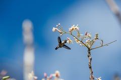 Enige volwassen mannetje het Cubaanse van de Bijenkolibrie (Mellisuga-helenae) Stock Afbeeldingen