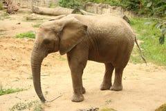 Enige vrouwelijke Afrikaanse olifant die zich op zand bevinden die kleine tre eten Stock Afbeeldingen