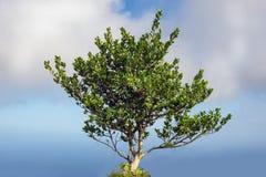 Enige weelderige groene boom met bewolkte hemelachtergrond Royalty-vrije Stock Afbeeldingen