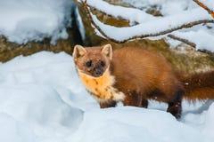 Enige wezelzitting bij sneeuwgebied Royalty-vrije Stock Foto's