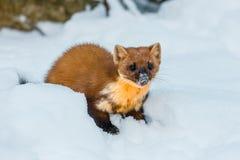 Enige wezelzitting bij sneeuwgebied Stock Foto's