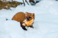 Enige wezelzitting bij sneeuwgebied Stock Foto