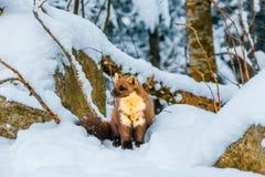 Enige wezelzitting bij sneeuwgebied Stock Afbeeldingen